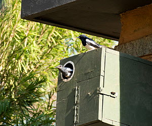 Oriental Magpie Robin (Copsychus saularis)  - pair in nest box, Whitefield, Bangalore, India, March.  -  Ashish & Shanthi Chandola