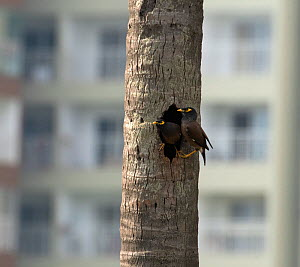 Common Myna ( Acridotheres tristis) nesting in tree outside high rise buildings. Whitefield, Bangalore, April 2020  -  Ashish & Shanthi Chandola