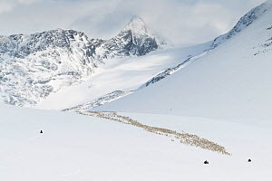 Reindeer herders moving a large flock of semi-domesticated Reindeer (Rangifer tarandus) with the help of snowmobiles, to the reindeer calving areas in the Jotunheimen National Park, Norway. Mt Semmelh...  -  Erlend Haarberg