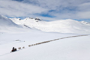 Reindeer herders moving a large flock of semi-domesticated Reindeer (Rangifer tarandus), with the help of snowmobiles, to the reindeer calving areas in the Jotunheimen National Park, Norway. April 202...  -  Erlend Haarberg