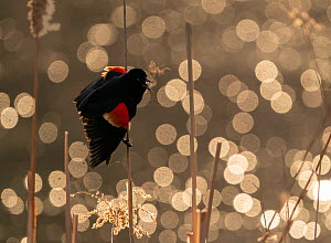 Red-winged Blackbird (Agelaius phoeniceus) male calling/displaying, Ithaca, New York, USA. March 2020.  -  Marie Read