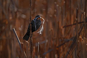 Red-winged Blackbird (Agelaius phoeniceus) female carring nest material, in reedbed, Ithaca, New York, USA. May 2020.  -  Marie Read