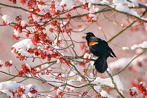 Red-winged Blackbird (Agelaius phoenicus) male singing from snow-covered red maple (Acer rubrum) in flower, Ithaca, New York, USA. April 2020.  -  Marie Read