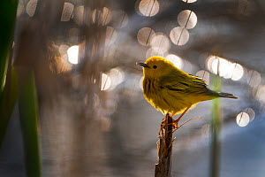 Yellow Warbler (Setophaga petechia, formerly Dendroica petechia), male in breeding plumage, Ithaca, New York, USA. May 2020.  -  Marie Read