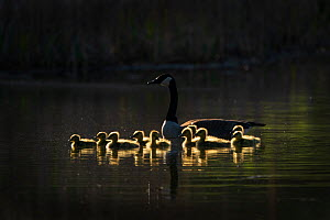 Canada Goose (Branta canadensis) adult with goslings, backlighting, Ithaca, New York, USA. May 2020.  -  Marie Read