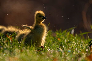"""Canada Goose (Branta canadensis) gosling flapping its """"wings"""", Ithaca, New York, USA. April 2020.  -  Marie Read"""
