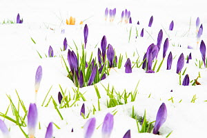 Crocuses flowering in snow, late March 2020, New York State, USA.  -  Marie Read