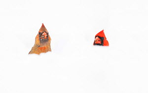 Northern Cardinals (Cardinalis cardinalis) male and female in the snow, photographed from low angle, Freeville, New York, USA. April 2020.  -  Marie Read