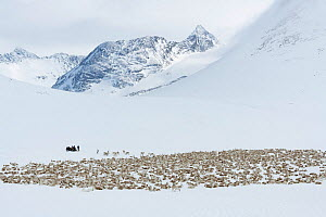 Reindeer herders moving a large flock of semi-domesticated Reindeer, (Rangifer tarandus), with the help of snowmobiles, to the calving areas in the Jotunheimen National Park, Norway. Here, the flock i...  -  Orsolya Haarberg