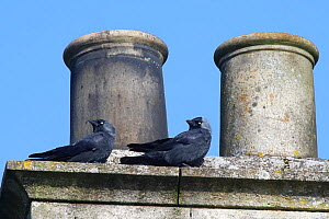 Jackdaw (Corvus monedula) pair perched by a chimney pot they are nesting in, Wiltshire, UK, March.  -  Nick Upton