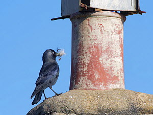 Jackdaw (Corvus monedula) standing beside a chimney pot with feathers in its beak for lining its nest inside the pot, Wiltshire, UK, March.  -  Nick Upton