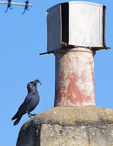 Jackdaw (Corvus monedula) standing beside a chimney pot it is nesting in with small sticks and leaves in its beak for lining its nest, Wiltshire, UK, March.  -  Nick Upton