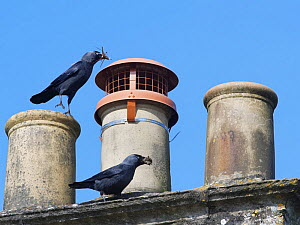 Jackdaw (Corvus monedula) pair bringing small sticks and leaves in their beaks for lining their nest in a chimney with, Wiltshire, UK, March.  -  Nick Upton