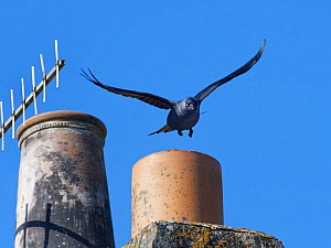 Jackdaw (Corvus monedula) taking off from a chimney pot it is nesting in, Wiltshire, UK, March.  -  Nick Upton