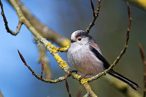 Long-tailed tit (Aegithalos caudatus) perched in a Beech tree (Fagus sylvatica) with unopened leaf buds in a garden, Wiltshire, UK, March.  -  Nick Upton