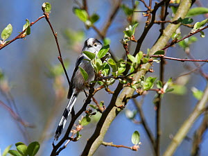 Long-tailed tit (Aegithalos caudatus) perched in a Crab apple (Malus sylvestris) tree in a garden, Wiltshire, UK, March.  -  Nick Upton