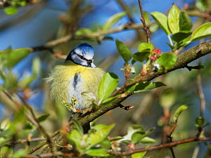 Blue tit (Parus caeruleus) perched on a Crab apple (Malus sylvestris) tree branch in a garden, fluffing up its feathers to keep warm late in the day, Wiltshire, UK, March.  -  Nick Upton