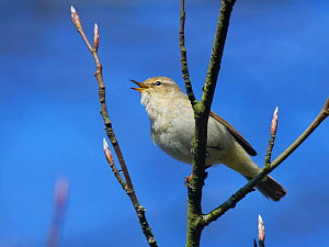 Chiffchaff (Phylloscopus collybita) perched in a Beech tree (Fagus sylvatica) with unopened leaf buds in a garden, Wiltshire, UK, March.  -  Nick Upton
