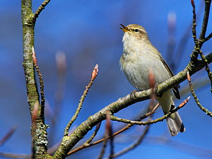 Chiffchaff (Phylloscopus collybita) singing while perched in a Beech tree (Fagus sylvatica) with unopened leaf buds in a garden, Wiltshire, UK, March.  -  Nick Upton