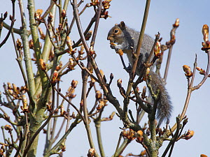 Grey squirrel (Sciurus carolinensis) feeding on new leaves in a Horse chestnut (Aesculus hippocastanum) tree, Wiltshire, UK, March.  -  Nick Upton
