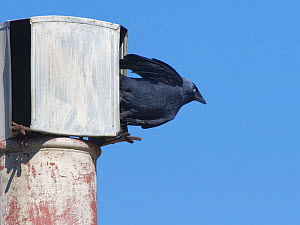 Jackdaw (Corvus monedula) flying from a slit in a metal cowl on a chimney pot it is nesting in, Wiltshire, UK, March.  -  Nick Upton