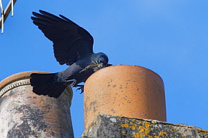 Jackdaw (Corvus monedula) flying to a chimney pot it is nesting in with small sticks and animal hair in its beak for lining its nest, Wiltshire, UK, March.  -  Nick Upton