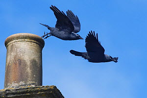 Jackdaw (Corvus monedula) pair taking off from a chimney pot they are nesting in, Wiltshire, UK, March.  -  Nick Upton