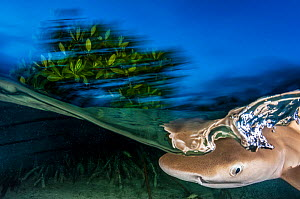 Lemon shark(Negaprion brevirostris) pup, these spend the first 5-8 years of their life in mangrove forests. Eleuthera, Bahamas  -  Shane Gross