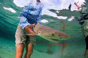 Researcher Ian Bouyoucos of the Cape Eleuthera Institute in The Bahamas releasing Lemon shark (Negaprion brevirostris) pup into his temporary enclosure. The shark will be observed to help us better un...  -  Shane Gross
