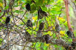 Darwin's medium ground finch (Geospiza fortis) mixed flock sheltering from the rain in photographer Tui De Roys's garden, Santa Cruz Island, Galapagos Islands  -  Tui De Roy