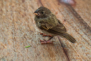 Darwin's medium ground finch (Geospiza fortis) recovering from introduced avian pox in photographer Tui De Roy's garden, Santa Cruz Island, Galapagos Islands  -  Tui De Roy