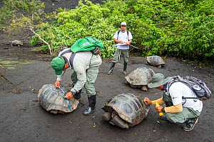 Park wardens recording the size and sex of each tortoise they encounter, and reading the tiny electronic tags implanted under the skin of their hind leg to check against a list of genetically desirabl...  -  Tui De Roy