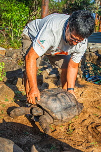 'Lonesome Goergette', a distant relative of the late Lonesome George is gently lowered by Wacho Tyapia (director of the Giant Tortoise Restoration Intiative) into her new enclosure at the Faus...  -  Tui De Roy