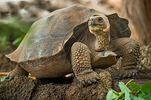 Pinta giant tortoise (Chelonoidis abingdoni) hybrid cross with Wolf giant tortoise (Chelonoidis becki). Found in January 2020, and around 15 years old, she will become the nucleus of a new captive bre...  -  Tui De Roy