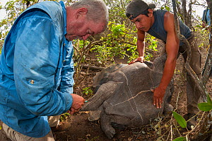 Galapagos National Park team taking blood samples from Wolf Volcano giant tortoise (Geochelone becki). This is used for DNA analysis to trace descendants of extinct Pinta and Floreana species to begin...  -  Tui De Roy