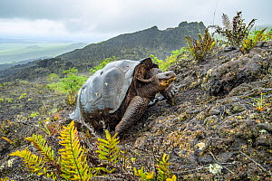 Wolf giant tortoise (Chelonoidis becki) in habitat. Hybrids of mixed parentage with different shell shapes are scattered far and wide on the rugged west slope of Wolf Volcano. Wolf Volcano, Isabela Is...  -  Tui De Roy