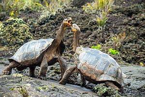 Wolf giant tortoise (Chelonoidis becki) aggressive displays, settled by he who can reach highest. This often giving the advantage to the more saddlebacked shaped individual, even if overall smaller. W...  -  Tui De Roy