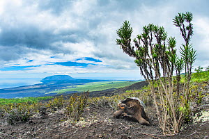 Wolf giant tortoise (Chelonoidis becki). Hybrids of mixed parentage with different shell shapes are scattered far and wide on the rugged west slope of Wolf Volcano. Wolf Volcano, Isabela Island, Galap...  -  Tui De Roy