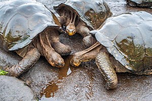 Wolf giant tortoise (Chelonoidis becki) group drinking from small puddles formed by fine drizzle. Wolf Volcano, Isabela Island, Galapagos  -  Tui De Roy