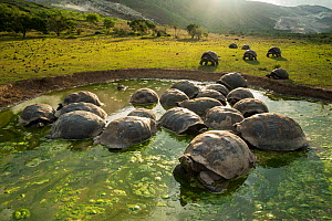 Alcedo giant tortoises (Chelonoidis vandenburghi) wallowing, Alcedo Volcano, Isabela Island. This is where the largest population still exists, acting as ecosystem engineers by maintaining open meadow...  -  Tui De Roy