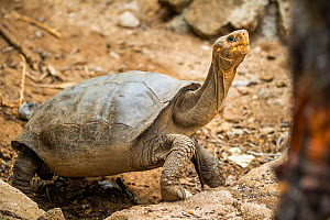 Fernandina giant tortoise (Chelonoidis fantasticus). Discovered on Fernandina Island in February 2019, where the species was believed extinct, this small female awaits genetic testing to confirm her l...  -  Tui De Roy