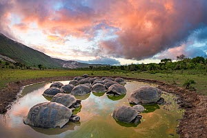 Alcedo giant tortoise (Chelonoidis vandenburghi), Alcedo Volcano, Isabela Island. This is where the largest extant population exists, acting as ecosystem engineers by maintaining open meadows and digg...  -  Tui De Roy