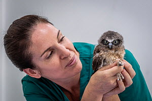 Boobok owl (Ninox boobook) chick held by veterinary nurse. Chick treated for head trauma, likely caused by bird attack. Temporarily captive, to be released following recovery. Currumbin Wildlife Hospi...  -  Doug Gimesy