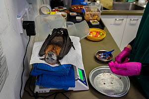 Grey-headed flying-fox (Pteropus poliocephalus) recovering on scales following surgery to amputate toe. Temporarily captive, to be released once recovered. Currumbin Wildlife Hospital, Gold Coast, Que...  -  Doug Gimesy