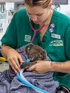 Koala (Phascolarctos cinereus) female aged 12 months undergoing health check, veterinary nurse adminstering oxygen following anaesthetic. Joey's mother died from a terminal chlamydia infection. Te...  -  Doug Gimesy