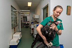 Wedge-tailed eagle (Aquila audax) with wing fracture on way to recovery room following x-ray, carried by veterinary nurse. Temporarily captive, to be released once fully recovered. Currumbin Wildlife...  -  Doug Gimesy