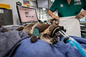 Koala (Phascolarctos cinereus) female aged 12 months, anaesthetised whilst undergoing health check by veterinary nurse. Temporarily captive, until old enough to be released. Currumbin Wildlife Hospita...  -  Doug Gimesy
