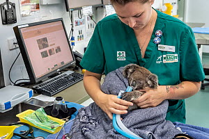 Koala (Phascolarctos cinereus) female aged 12 months undergoing health check by veterinary nurse. Temporarily captive, until old enough to be released. Currumbin Wildlife Hospital, Gold Coast, Queensl...  -  Doug Gimesy