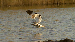 Pair of Avocets (Recurvirostra avosetta) courting and mating, Lincolnshire, England, UK, June.  -  Brian Bevan
