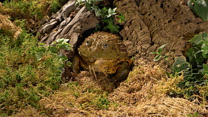 Slow motion clip of an African bullfrog (Pyxicephalus asperses) eating locust, retracting eyes whilst swallowing, UK. Captive, native to Africa.  -  Brian Bevan